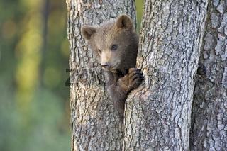 junger Europaeischer Braunbaer, Baer, (Ursus arctos), Bayern, Deutschland, young Brown Bear, bavaria, germany