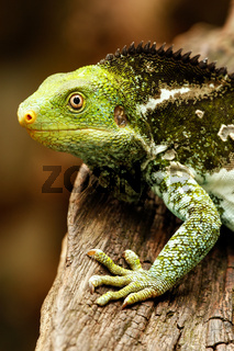 Portrait of Fijian crested iguana (Brachylophus vitiensis) on Viti Levu Island, Fiji