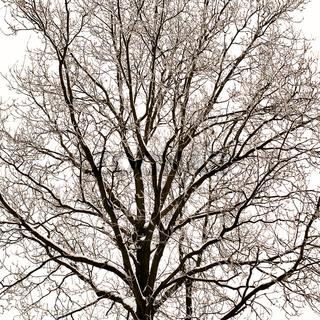 Wildkirschbaum im Winter / cherry tree in winter