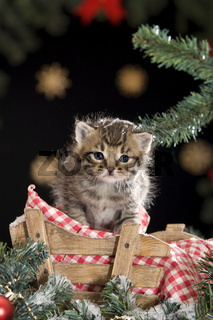 Kaetzchen sitzend auf Schlitten unter Christbaum | Kitten - sitting on a sledge under christmas tree