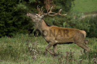 roehrender Hirsch, belling deer