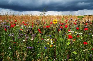 Blumenwiese vor Getreidefeld