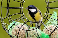 Great Tit with fat balls