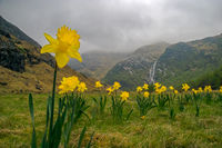 Wild daffodils in Scotland