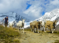 A herd of goats returning from alpine pastures to lower areas, Saas-Fee, Valais, Switzerland