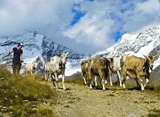 Herde Ziegen auf dem Abstieg von der Bergweide ins Tal, Wallis, Schweiz