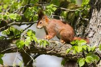Red Squirrel 12