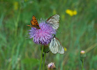 Aporia crataegi  butterfly