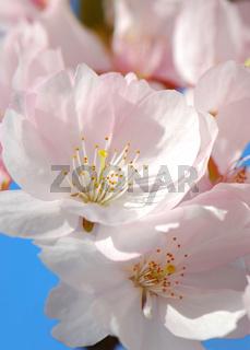 Frühlingsbote, Spring