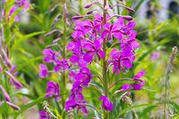 Schmalblättriges Weidenröschen, Epilobium angustifolium - rosebay willowherb or Epilobium angustifolium, purple wildflower
