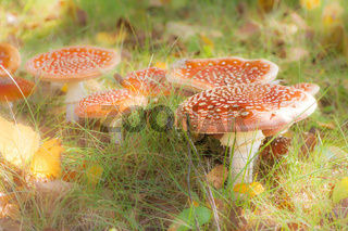 Group of red fly agaric musrooms
