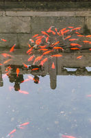 gold fishes in pond in public park in Beijing