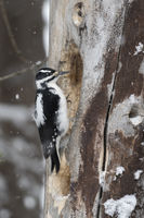woodworker... Hairy woodpecker *Picoides villosus*