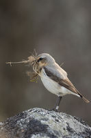 nesting material in its beak... Northern Wheatear *Oenanthe oenanthe*