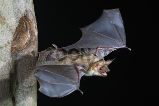 Grosses Mausohr, (Myotis myotis), Greater Mouse-eared Bat