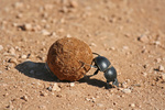 Pillendreher, Sdafrika, Dung beetle, south africa