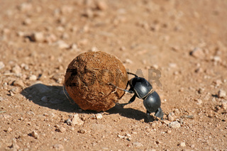 Pillendreher, Südafrika, Dung beetle, south africa