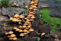 Changeable pholiota