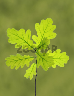 Eichenblätter an einem Zweig