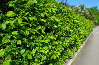 Grüne Hecke mit Hainubchen Pflanzen im Frühling