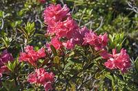 Alpine roses bloom in the Stubai Alps