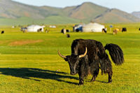 Black yak (Bos mutus), Orkhon Valley, Mongolia