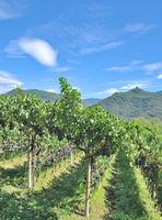 Vineyard Landscape at south tyrolean Wine Road near Lake Caldaro,Italy