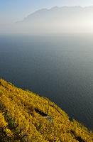 Vineyards in golden autumn foliage rising above Lake Geneva, Rivaz, Lavaux, Vaud, Switzerland