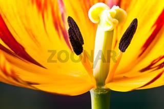 Tulpenblüte quer V3