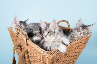 Maine coon kittens in basket