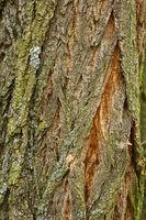 bark, tree bark, robinia, locust tree,