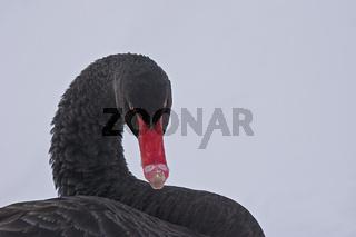 Schwarzer Schwan