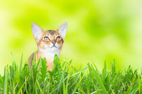 Abyssinian cat or kitten on sunny green grass