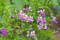 Gefiederte Spaltblume, Schizanthus pinnatus -  small butterfly, Schizanthus pinnatus a nice flower