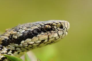 macro portrait of the elusive hungarian meadow viper ( Vipera ursinii rakosiensis )