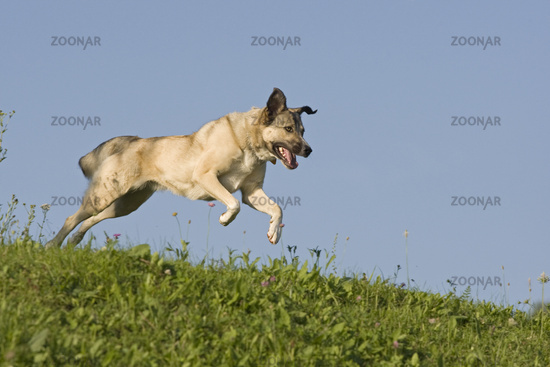 Kangal mixed breed running, running half breed Kangal