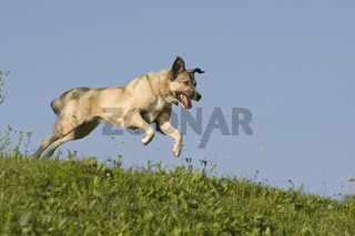 Kangal Mischling rennend, Kangal halfbreed running