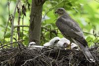 proud bird... Sparrowhawk *Accipiter nisus*