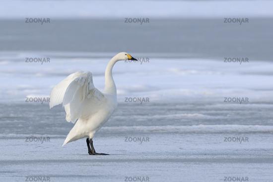 graceful... Bewick's Swan *Cygnus bewickii*