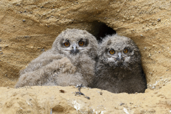 big eyes... hatchlings of Eurasian Eagle Owl *Bubo bubo*