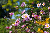 Herbst-Anemone - Japanese anemone flowers in summer
