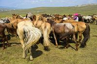 Eine Herde Stuten wartet auf das Melken