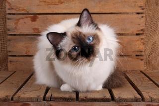 HEILIGE BIRMA KATZE, BIRMAKATZE, SACRED CAT OF BIRMA, BIRMAN CAT, SEALPOINT, SCHAUT INTERESSIERT,