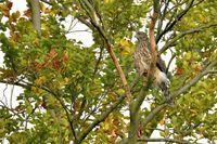 common buzzard in a tree