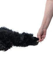 Black poodle leaping for treat in hand