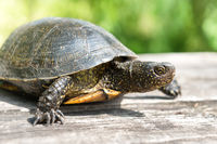 Turtle on wooden desk