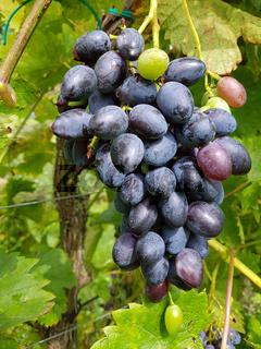 Tafeltraube, Venus, Rotwein, Vitis, vinifera