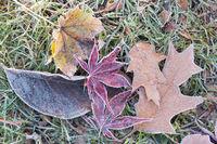 frozen foliage