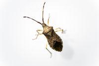 Bug (Heteroptera)
