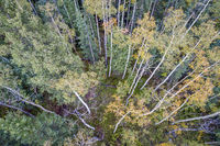 spruce and aspen trees from above